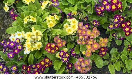 Pansy flowers in garden. Pansies in garden - stock photo