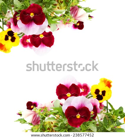 Pansy  or viola flowers isolated on white background  - stock photo