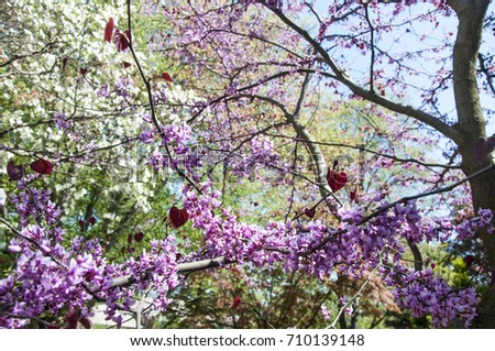 Pansy redbud tree bloom close pink stock photo download now pansy redbud tree in bloom close up with pink flowers and red heart shaped leaves mightylinksfo