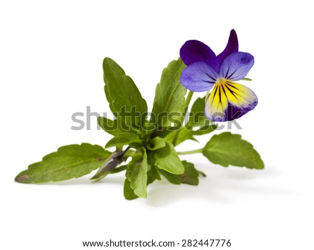 Pansy Violet with Green Leaves on White Background (Viola) - stock photo