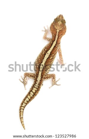 Panther Gecko, Paroedura pictus, isolated on white