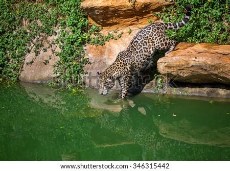 Panthera pardus - stock photo