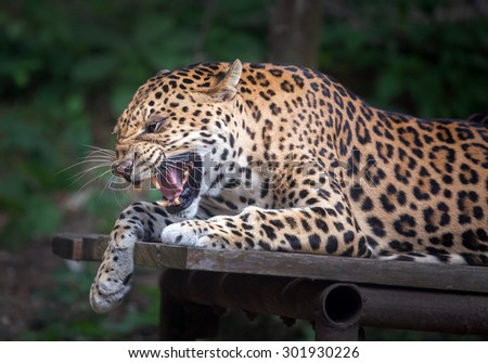 Panthera pardus bared - stock photo