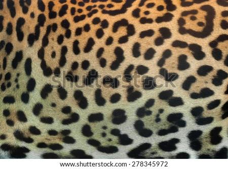 Panthera pardus skin. - stock photo