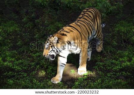 Panthera tigris altaica - stock photo