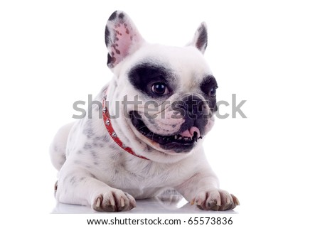 panting French bulldog with tongue exposed  on a white background