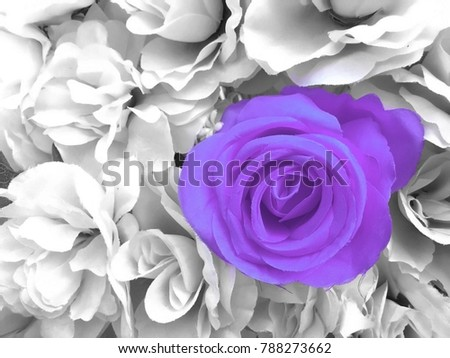 Pantone Ultra Violet Rose On Black And White Background Left Side For Copy  Space. Concept