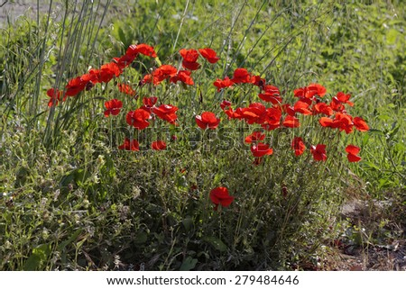 Papaver rhoeas, Corn Poppy from Europe, other names are Corn Rose, Field Poppy, Flanders Poppy, Red Poppy, Red Weed, Coquelicot - stock photo