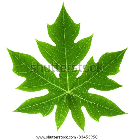 Papaya Leaf isolated - stock photo