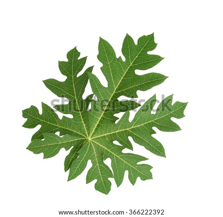 papaya leaf on white background