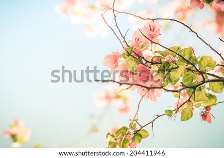 Paper flowers or Bougainvillea in the garden or nature park vintage - stock photo