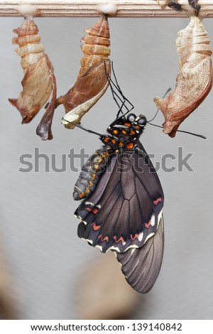 Paper Kite or Rice Butterfly (Idea leuconoe), butteflies of Thailand, Malaysia and Borneo - stock photo