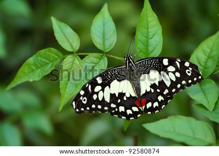 Papilio demoleus, the Common Lime Butterfly, is a common and widespread Swallowtail butterfly. It gets its name from its host plants which are usually citrus species such as the cultivated lime. - stock photo
