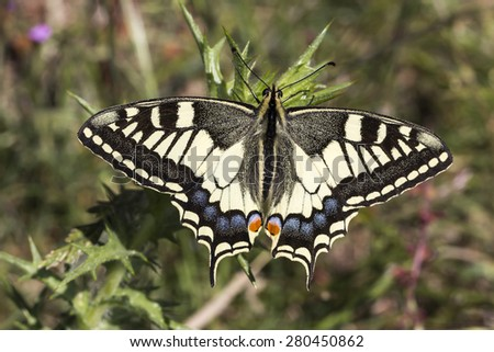 Papilio machaon, Old world Swallowtail butterfly from Italy, Europe - stock photo