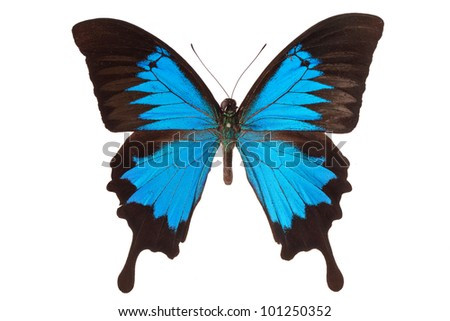 Papilio ulysses butterfly isolated on white background - stock photo