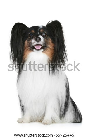 Papillon breed dog portrait on a white background - stock photo
