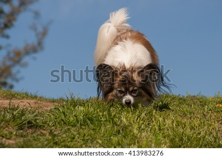 Papillon dog Issac of Erebia Manto  in nature