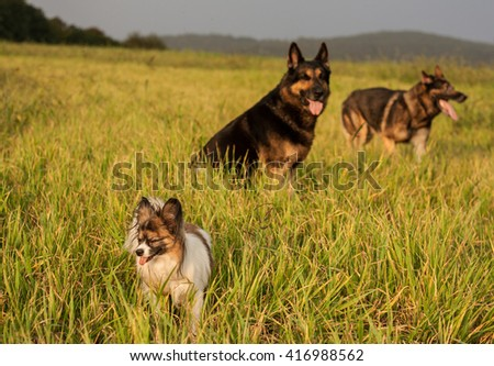 Papillon dog Issac of Erebia Manto with friends - stock photo