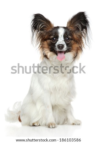 Papillon dog. Portrait on a white background