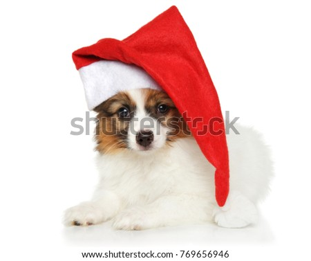 Papillon dog puppy in Santa Christmas red hat on white background