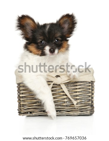 Papillon dog puppy in wicker basket on white background