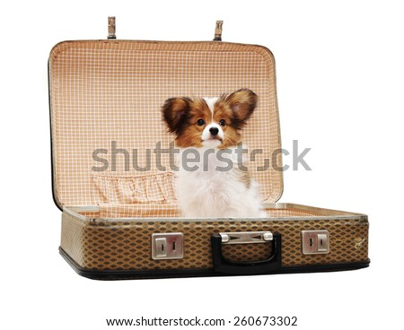 Papillon puppy in the suitcase, isolated on white background - stock photo