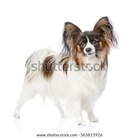 Papillon puppy looking at camera. isolated on white background