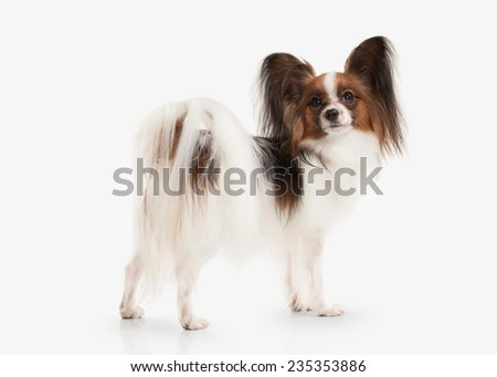 Papillon puppy on a white background