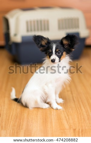Papillon puppy sitting on floor about travel plastic carrier for pets