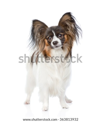 Papillon puppy standing in front view. isolated on white background - stock photo