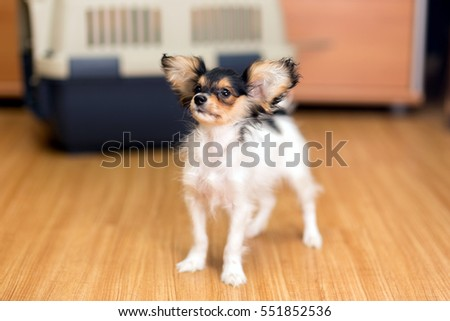 Papillon puppy standing on floor about travel plastic carrier for pets