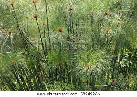 Papyrus grass - stock photo