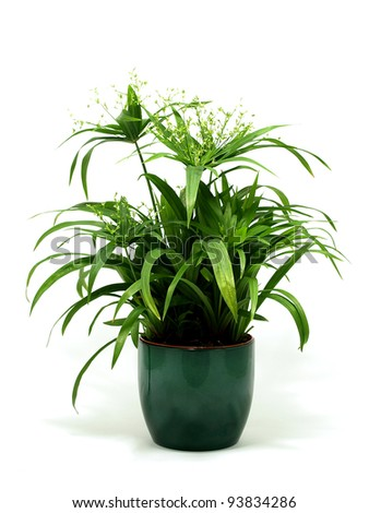 Papyrus green plant - stock photo