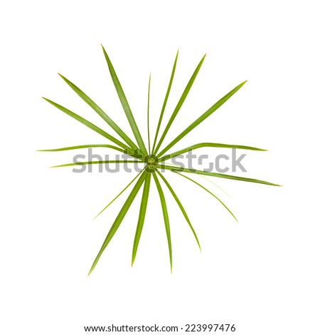 papyrus plant isolated on white - stock photo