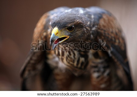 parabuteo unicintus also called harris hawk with short DOF - stock photo