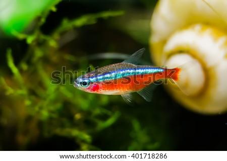 Paracheirodon axelrodi or Neon - stock photo