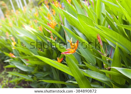 Parakeet flower (Heliconia psittacorum). Plants and Flowers