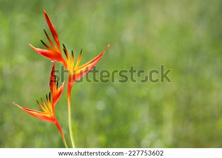 Parakeet flower (Heliconia psittacorum) with green meadow background - stock photo