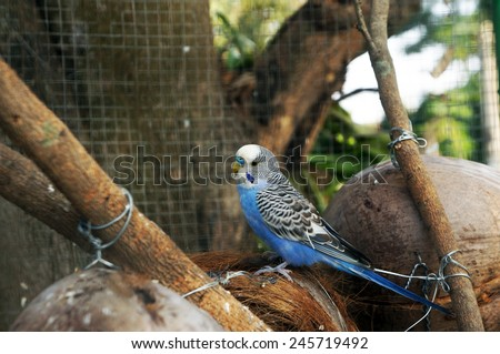 Parakeets (Budgie) perched coconut nest in cage - stock photo