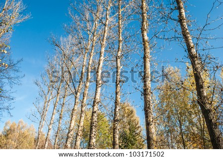 parallel to the growing poplar trees in autumn park - stock photo