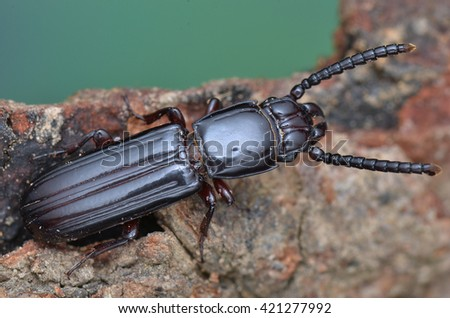 Parasitic Flat Bark Beetle, Passandridae - stock photo