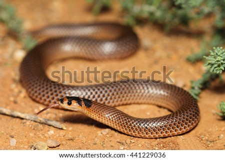 Parasuta spectabilis is a species of snakes of the family Elapidae. - stock photo
