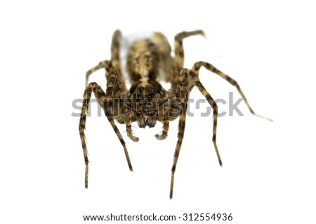 Pardosa sp. wolf spider isolated on white. - stock photo