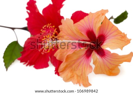 Pare of red and orange hibiscus flowers, isolated on white background - stock photo