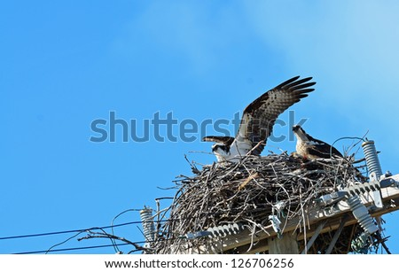 Parent Osprey (Pandion haliaetus) watches anxiously as fledgling tests wings for its first flight.