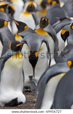 Parent stands over its child within a large colony of King Penguins. - stock photo