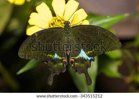 Paris Peacock butterfly resting on flower - stock photo