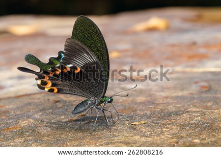 Paris peacock butterfly sucking food from wet floor - stock photo