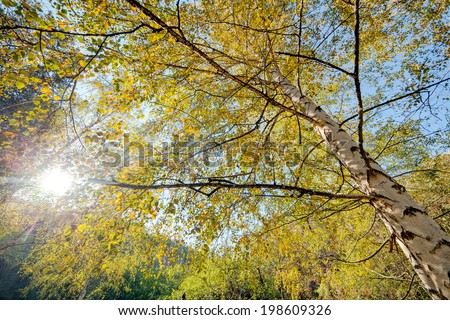 Park with silver birch trees - stock photo