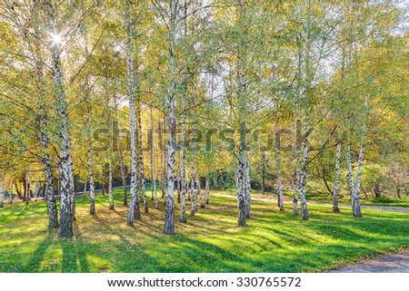 Park with silver birch trees and green grass